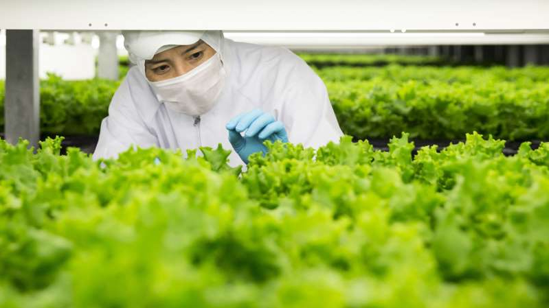 a person looking at the camera: An employee checks lettuce grown in an indoor farm at a Spread Co. plant in Kameoka, Kyoto Prefecture, Japan, on Tuesday, Oct. 2, 2018. Spread is preparing to open the worlds largest automated leaf-vegetable factory. Its the companys second vertical farm and could mark a turning point for vertical farming -- bringing the cost low enough to compete with traditional farms on a large scale. Photographer: Tomohiro Ohsumi/Bloomberg via Getty Images