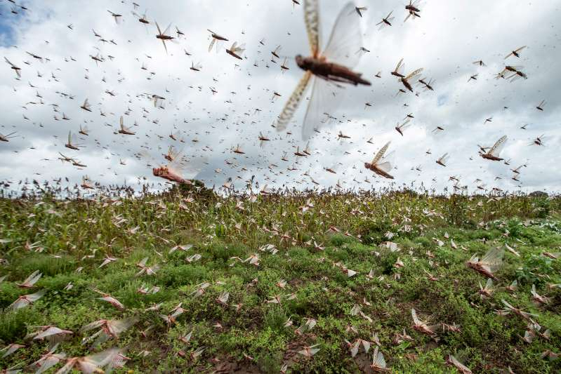 a flock of seagulls flying over a field: Desert locusts have swarmed into Kenya by the hundreds of millions from Somalia and Ethiopia, where such numbers haven't been seen in a quarter-century. The insects are decimating farmland, threatening an already vulnerable region.