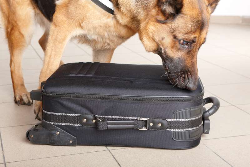a dog sitting on top of a suitcase: (Not image from scene) A stock image of a bomb-sniffing dog.