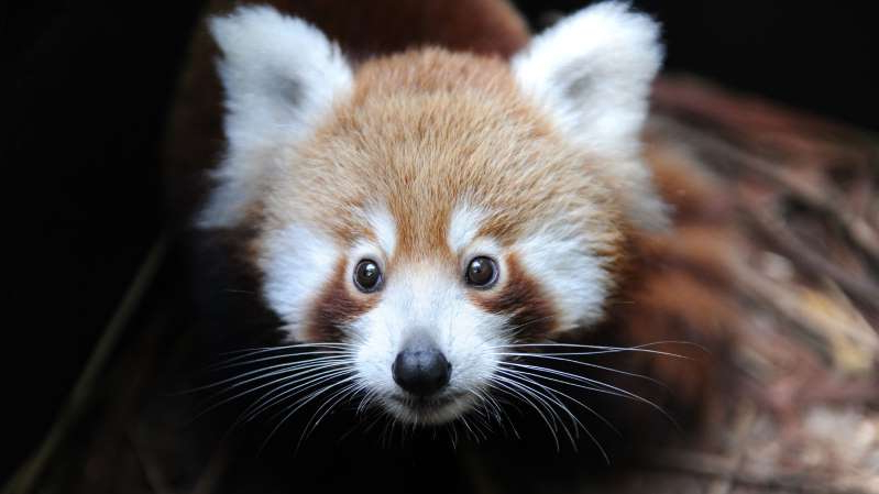 a close up of a panda: A baby red panda named Seba, seen here at Australia's Taronga Zoo in 2011. (Photo: Getty Images)