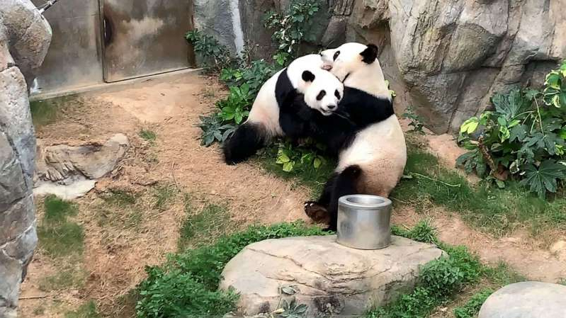 a panda bear sitting on a rock: Giant pandas Ying Ying and Le Le before mating at Ocean Park in Hong Kong on April 6, 2020.