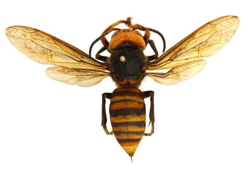 a insect on the ground: Asian giant hornets have long stingers capable of piercing the protective gear normally worn by beekeepers.