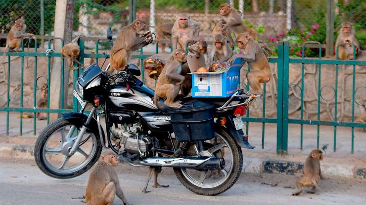 a group of people riding on the back of a bicycle with a dog: Monkeys get on a motorcycle to eat fruits from a box during a the lockdown in New Delhi