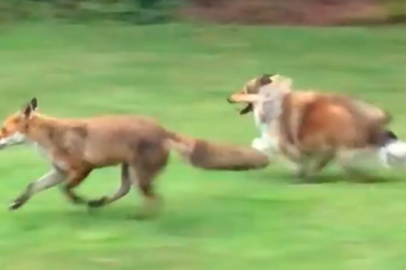 a blurry image of a dog running in the grass: The dog and fox have become unlikely pals