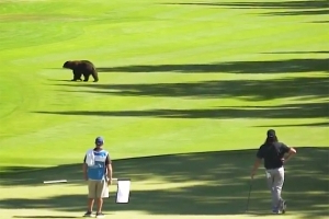 Black Bear Walks Across Fairway at PGA Tour Event: 'The BEARacuda Championships'