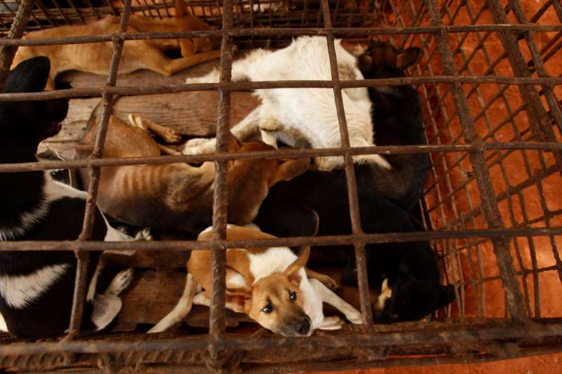 Dogs lay in a cage in a slaughterhouse as they wait for the FOUR PAWS International, rescue them at Chi Meakh village in Kampong Thom province north of Phnom Penh, Cambodia, Wednesday, Aug. 5, 2020. Animal rights activists in Cambodia have gained a small victory in their effort to end the trade in dog meat, convincing a canine slaughterhouse in one village to abandon the business. (AP Photo/Heng Sinith)