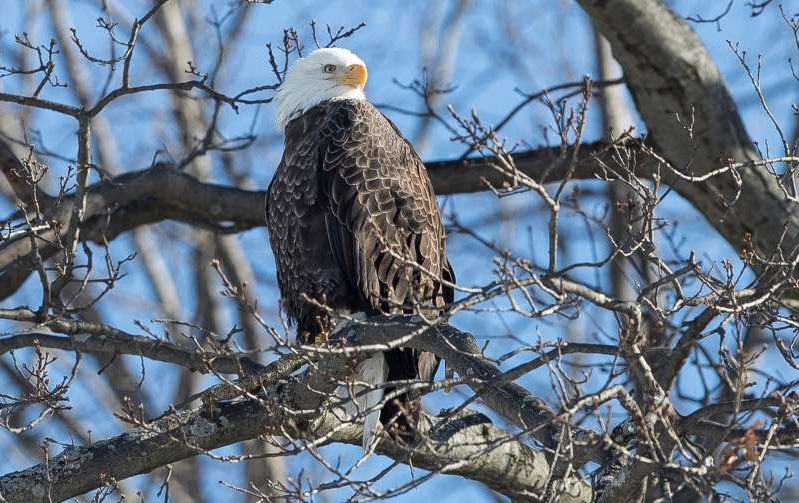 a bird perched on a tree branch: A bald eagle is seen at Belle Isle Park in Detroit, Thursday, Jan. 31, 2019.