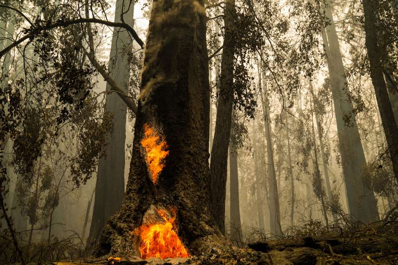 a tree in a forest: This year's wildfires burned through California's Big Basin Redwoods State Park in August. Most of the iconic redwoods survived, but historic structures in the park were destroyed.