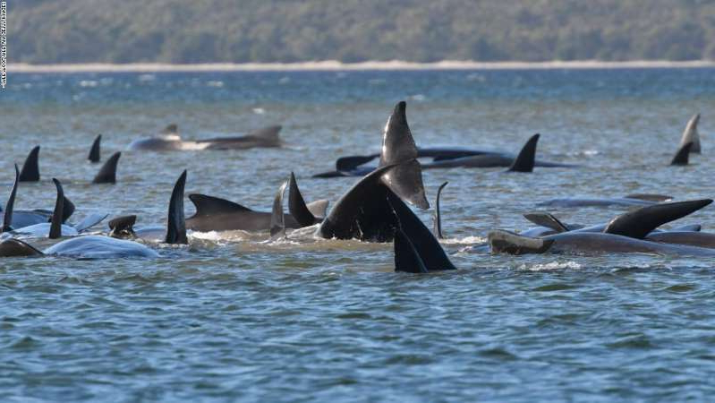 a dolphin swimming in a body of water: A pod of whales stranded on a sandbar in Macquarie Harbour, Tasmania, on September 21.