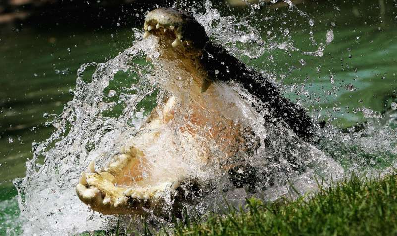 a bear swimming in a body of water: A Saltwater Crocodile is pictured at the Australian Reptile Park January 23, 2006 in Sydney, Australia. The Saltwater Crocodile, the world's largest reptile, is one of Australia's deadliest animals.