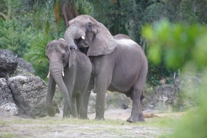 Love Is in the Air at Disney's Animal Kingdom as Elephant Tries to Woo Park's Biggest Animal