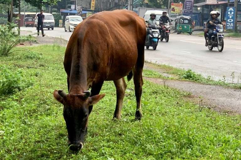a large brown cow standing on top of a grass covered field: A cow grazes by a roadside on the outskirts of Sri Lanka's capital Colombo