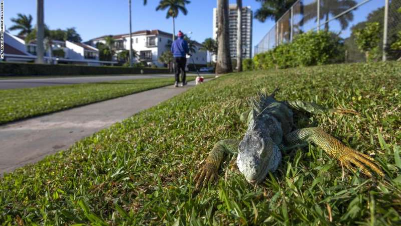 a large reptile in the grass: An iguana immobilized from cold temperatures lays on grass in West Palm Beach, Florida, U.S., on Wednesday, Jan. 22, 2020. Cold-stunned iguanas fell from trees in South Florida Wednesday morning as temperatures in Miami hit 40 degrees and wind chills reached in the 20s and 30s in South Florida, The National Weather Service reported. Photographer: Saul Martinez/Bloomberg via Getty Images