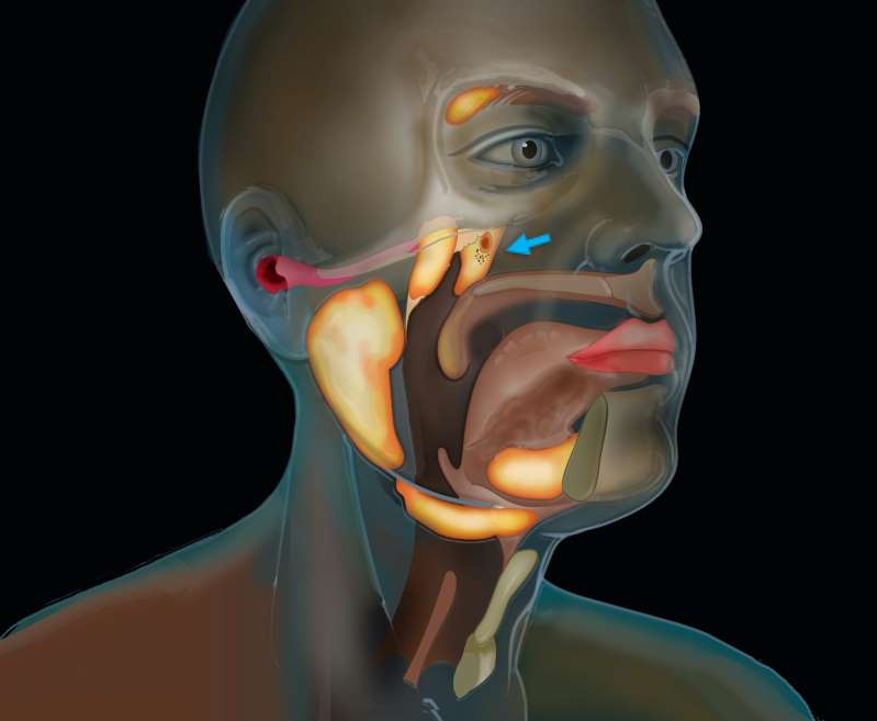 a person wearing a mask: a new set of salivary glands has been found hiding behind the nose