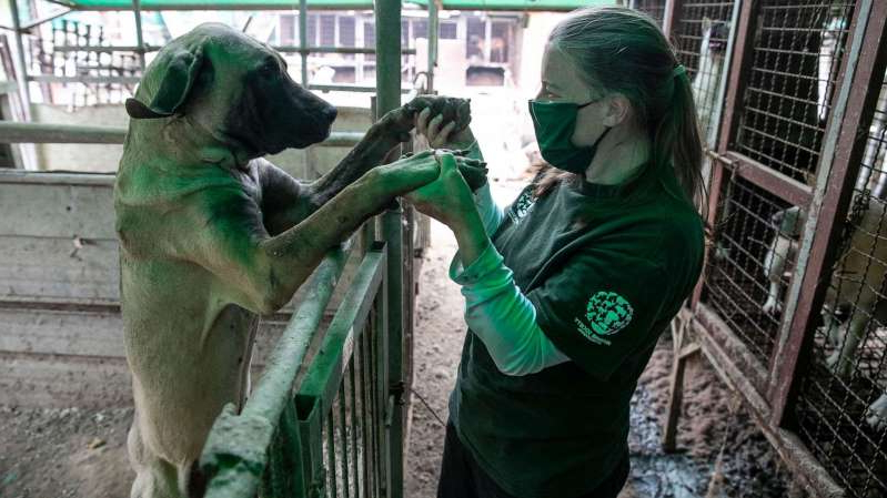 a woman standing in front of a green fence: Abbie Hubbard, Program Manager of International Disaster Response at HSI, plays with Darryl at a dog meat farm in Haemi, South Korea, on Wednesday, October 21, 2020.