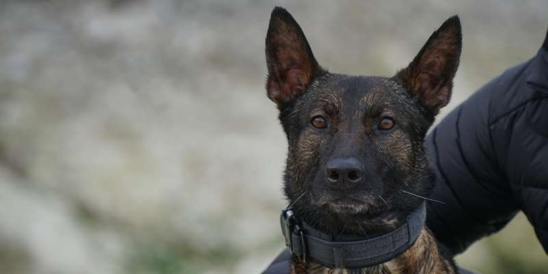 a dog looking at the camera: Kuno, a military working dog who received the prestigious PDSA Dicken Medal for his heroic actions in combat. PDSA courtesy photo