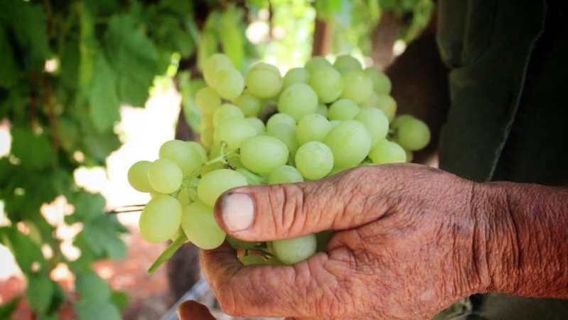 a hand holding a fruit: Grape producers have been identified as having a high risk of illegal labour. (Caddie Brain)
