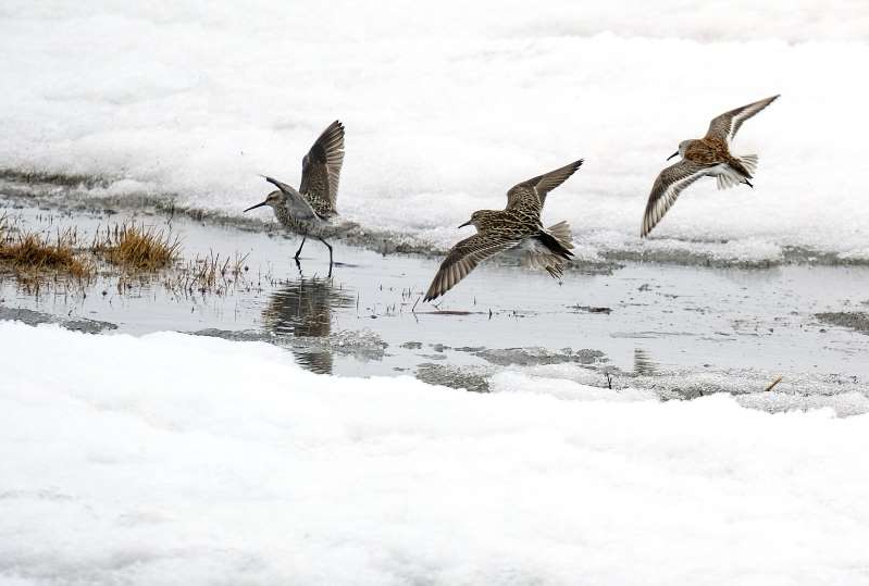 a flock of seagulls are standing in the snow: NORTH SLOPE BOROUGH, AK - MAY 28: A Dunlin and Sandpipers search for food near Teshekpuk Lake in North Slope Borough, AK on May 28, 2019. The lake is the largest in Arctic Alaska, and a spot where hundreds of thousands of migratory birds stop each year. (Photo by Bonnie Jo Mount/The Washington Post)
