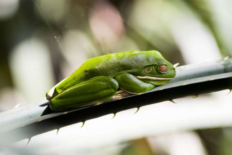 a green frog: White-Lipped Green Tree Frog on palm leaf, Daintree Rainforest, Queenland, Australia.