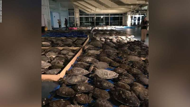 Cold-stunned sea turtles recovered by Sea Turtle, Inc. volunteers.