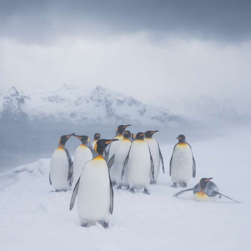a penguin in the snow: yellow-penguin