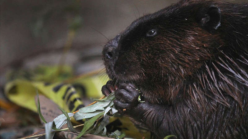 a rodent looking at the camera: Beavers are the national animal of Canada