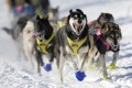 Dogs test positive for drugs in Alaska's Iditarod