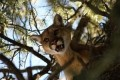 Cougar warning in place for Votier's Flats in Fish Creek park