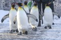 Calgary Zoo brings penguins indoors because of frigid temperatures
