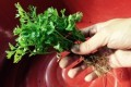 Here Is Another Reminder That You Really, Really Want to Wash Fresh Herbs Before You Use Them