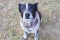 Deaf, partially blind dog helps rescue lost girl, 3, in bushland of Australia