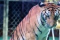 Caged tiger at Florida school prom