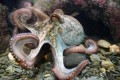 Are Octopuses From Outer Space? Study Suggests Cephalopod Eggs Traveled to Earth on a Comet