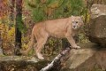 3 cougars killed in Port Coquitlam, B.C.