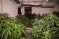 Police seize 260 cannabis plants from Macgregor home