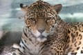 Killing spree: Jaguar escaped after biting through steel fencing