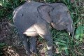 Endangered pygmy elephant shot dead on Borneo
