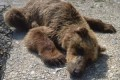 Rare bear surprises Churchill wildlife experts