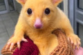 'It's Pikachu!' Meet the rare orphan possum that looks just like a real-life version of the Pokemon character