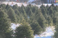 Early frost in New Brunswick causing shortage in Christmas trees