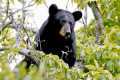 9 men charged with baiting, abusing black bears in Florida