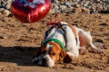 Mystery of 'sad' dog found on Swansea beach on Valentine's Day with 'I love you' balloon attached