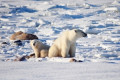 Igloolik elder won't be charged for killing polar bear and cub