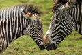 The Surprising Reason Zebras Have Stripes