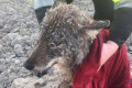 Wolf saved after rescuers thought it was a dog