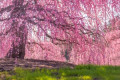 The Secret Cherry Blossoms Spot in DC That's Still Totally Tourist-Free