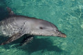 Dolphin breeding at Gold Coast Sea World could be banned