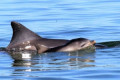 Port Adelaide dolphin calf population decimated