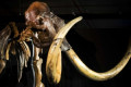 Scientists bring woolly mammoth cells back to life