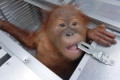 Russian arrested in Bali after trying to smuggle orangutan back home to keep as a pet